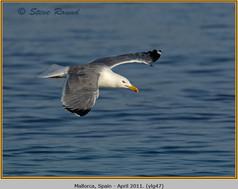 yellow-legged-gull-47.jpg