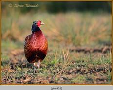 pheasant-25.jpg