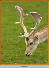 fallow-deer-10.jpg