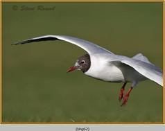 black-headed-gull-62.jpg