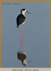 black-winged-stilt-41.jpg