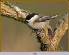 willow-tit-08.jpg