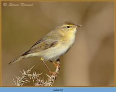 willow-warbler-46.jpg