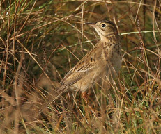 richards-pipit-05.jpg
