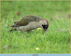 green-woodpecker-19.jpg