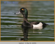 tufted-duck-09.jpg