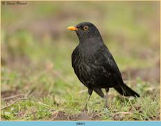 blackbird-87.jpg