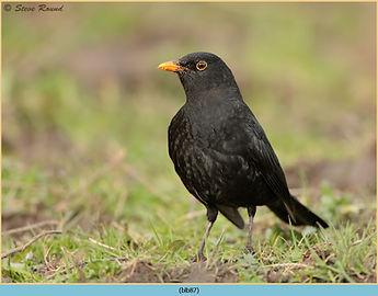 Blackbird, Turdus merula standing on grass