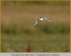 whiskered-tern-03.jpg