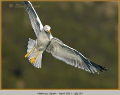 yellow-legged-gull-19.jpg