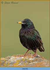 starling-59.jpg