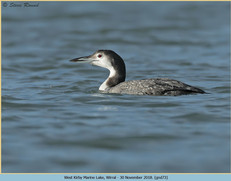 great-northern-diver-73.jpg