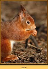 red-squirrel-16.jpg