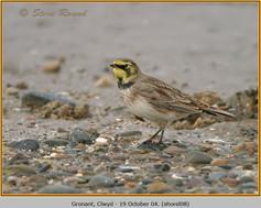 shore-lark-08.jpg
