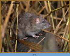 brown-rat-21.jpg