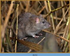 brown-rat-21.jpg