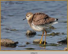white-tailed-lapwing-13.jpg