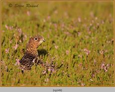 red-grouse-149.jpg