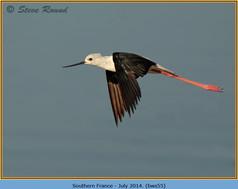 black-winged-stilt-55.jpg