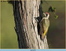 green-woodpecker-25.jpg