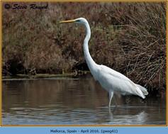 great-white-egret-41.jpg