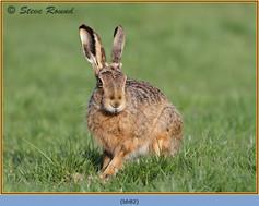 brown-hare-82.jpg