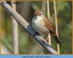 cettis-warbler-21.jpg