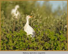 cattle-egret-55.jpg