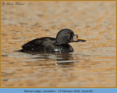 common-scoter-18.jpg
