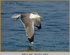 yellow-legged-gull-07.jpg
