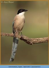 azure-winged-magpie-21.jpg