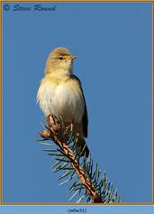 willow-warbler-31.jpg