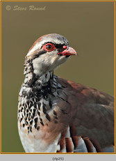 red-legged-partridge-25.jpg