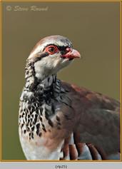 red-legged-partridge-25.jpg