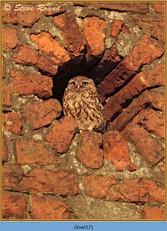 little-owl-37.jpg