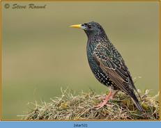 starling-52.jpg