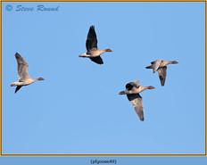 pink-footed-goose-49.jpg