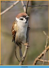 tree-sparrow-49.jpg
