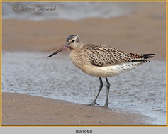 bar-tailed-godwit-40.jpg