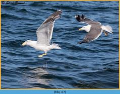 lesser-black-backed-gull-127.jpg