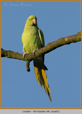 ring-necked-parakeet-01.jpg