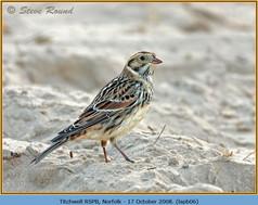lapland-bunting-06.jpg
