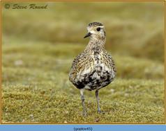golden-plover-45.jpg