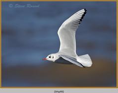 black-headed-gull-48.jpg
