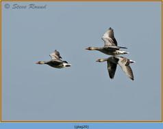 greylag-goose-20.jpg