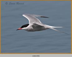 common-tern-36.jpg