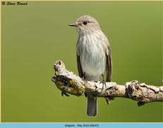 spotted-flycatcher-47.jpg