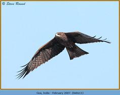 black-kite-11.jpg