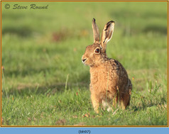 brown-hare-97.jpg