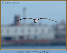 laughing-gull-16.jpg